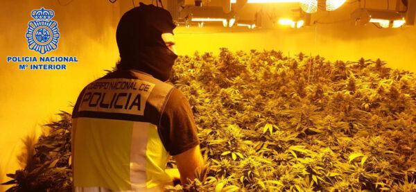 Plantación de marihuana incautada por la Policía Nacional en Cortijo Grande.