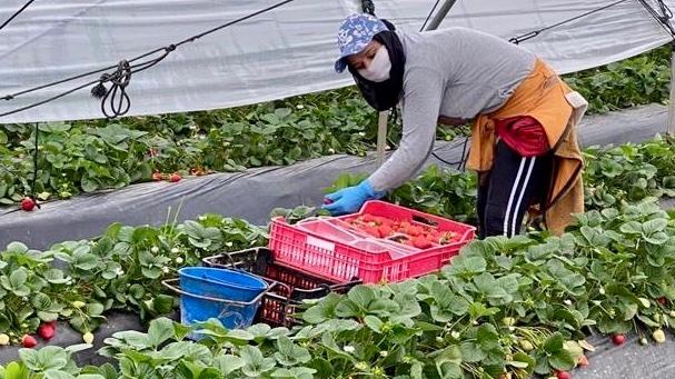 Trabajadora del campo, con su mascarilla, en el interior de un invernadero.