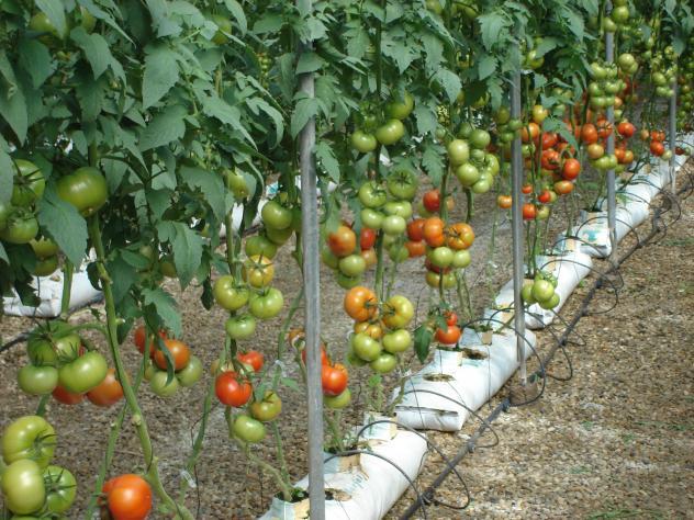 Cultivo de tomate en un invernadero