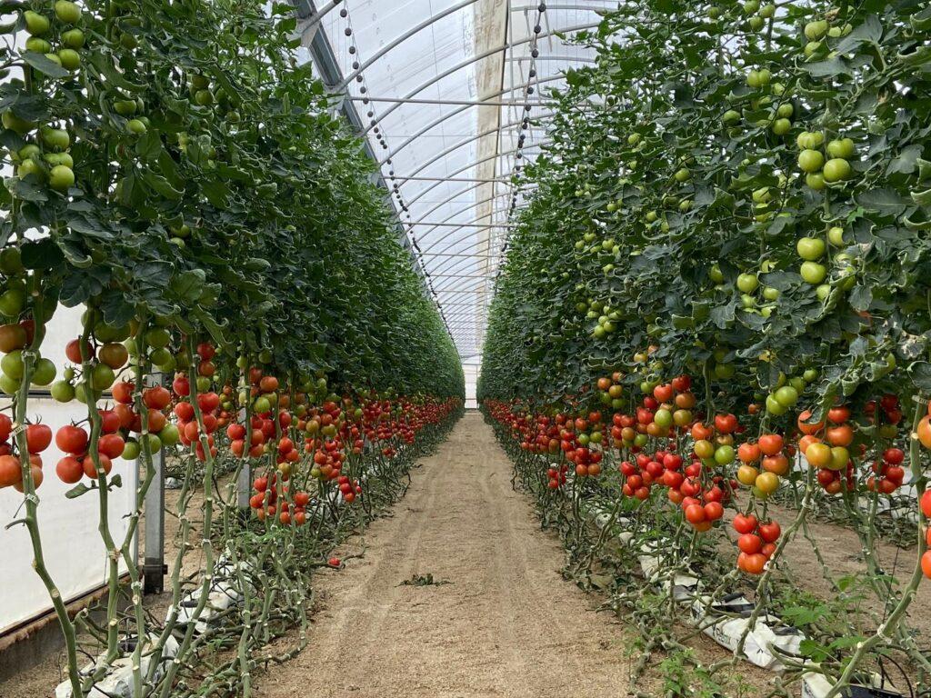 Invernadero de tomates