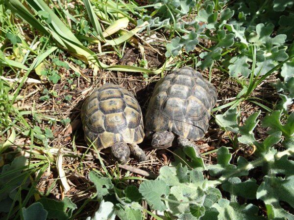 Tortugas moras (1)